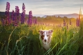 dog standing in a field of lupine flowers near Franconia