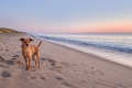terrier dog standing on the beach at sunrise