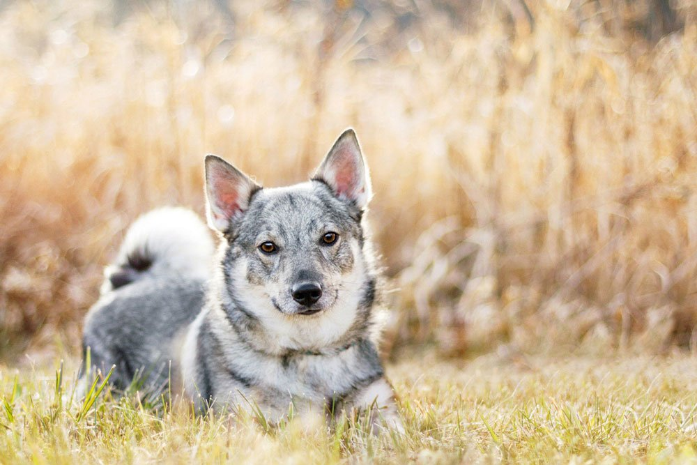 Jackpot the Swedish Vallhund