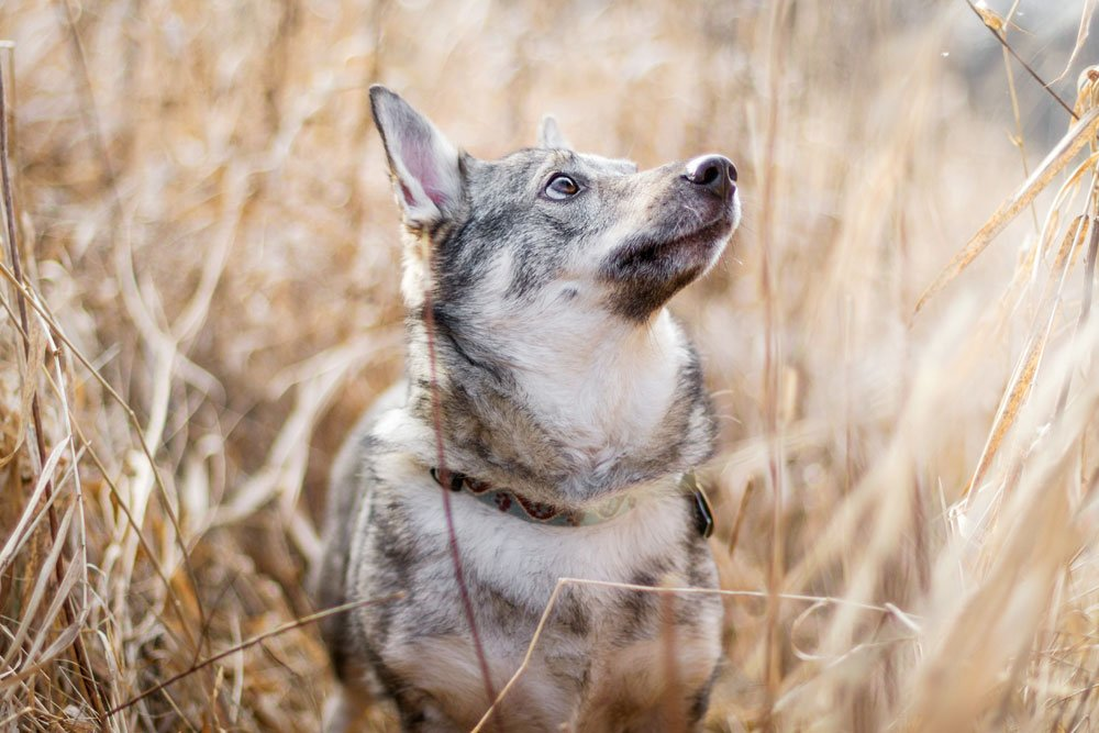 dog standing in tall grass and looking up