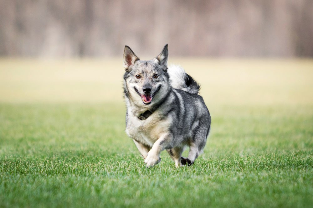 dog running in a field of green grass