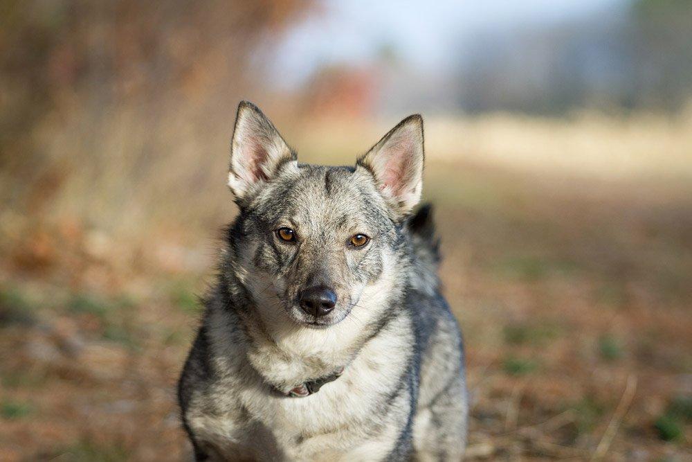 portrait of a Swedish Vallhund dog