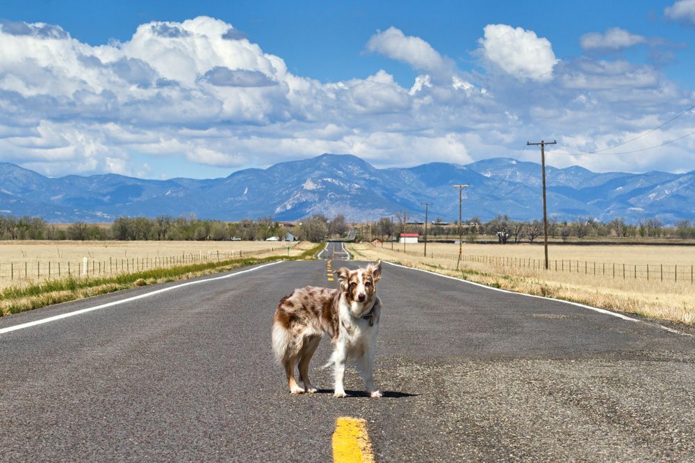 Australian Shepherd standing on a in front of the Rocky Mountains