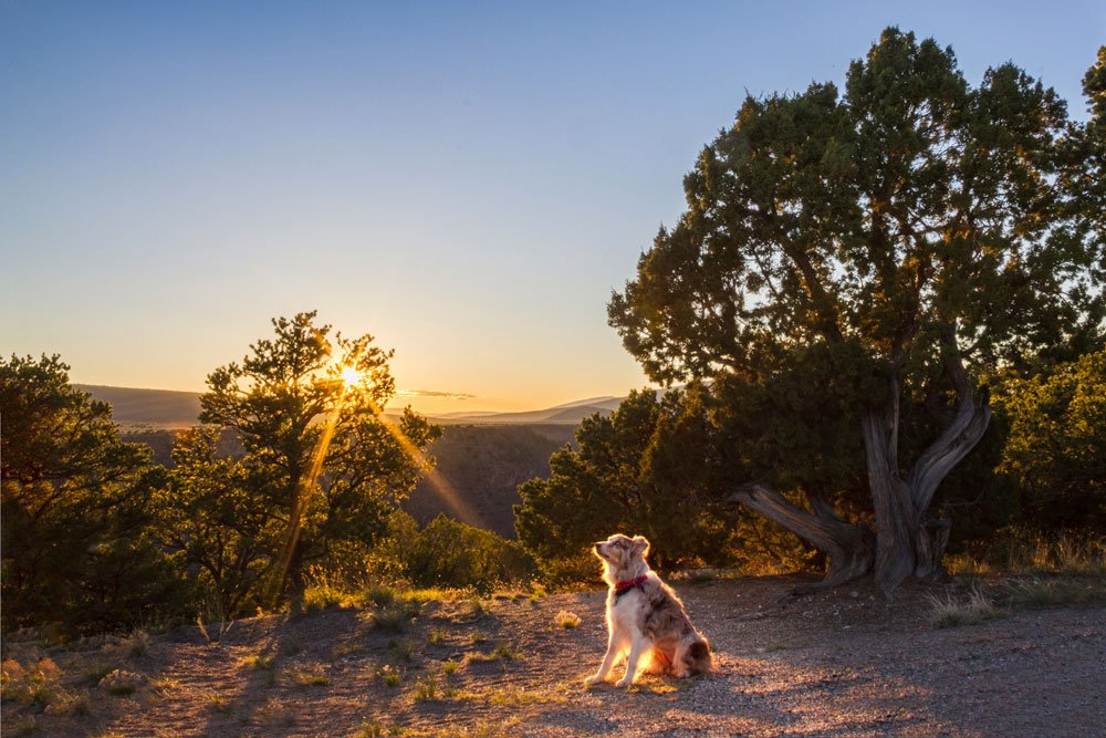 Australian Shepherd watching the sunset