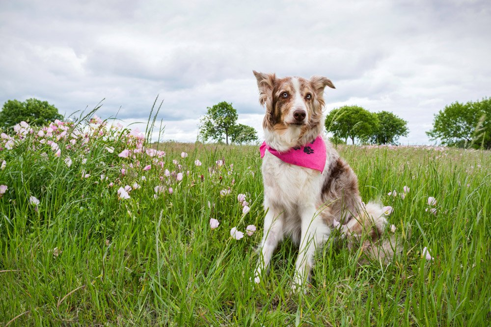 Australian Shepherd sitting in pink flowers on a cloudy day