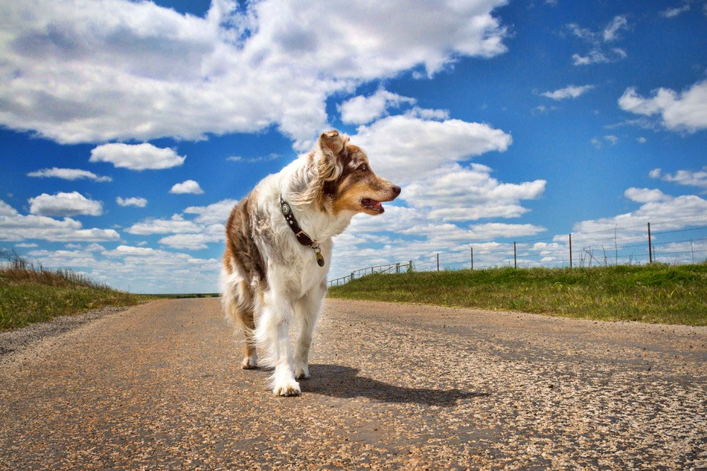 Australian Shepherd walking with a blue sky and fluffy clouds