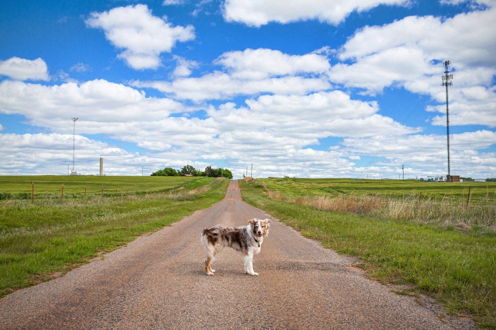 Australian Shepherd standing in a dirt road
