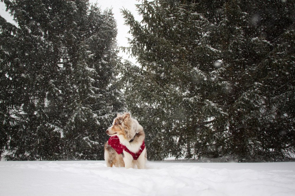 dog standing in front of pine trees in snow storm