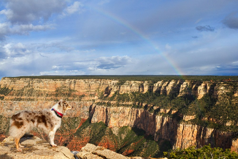 dog looking at a rainbow over the Grand Canyon