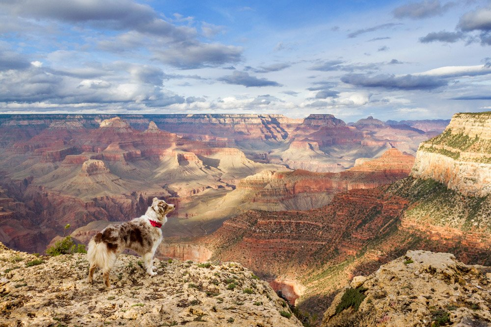 Australian Shepherd standing on the south rim of the Grand Canyon