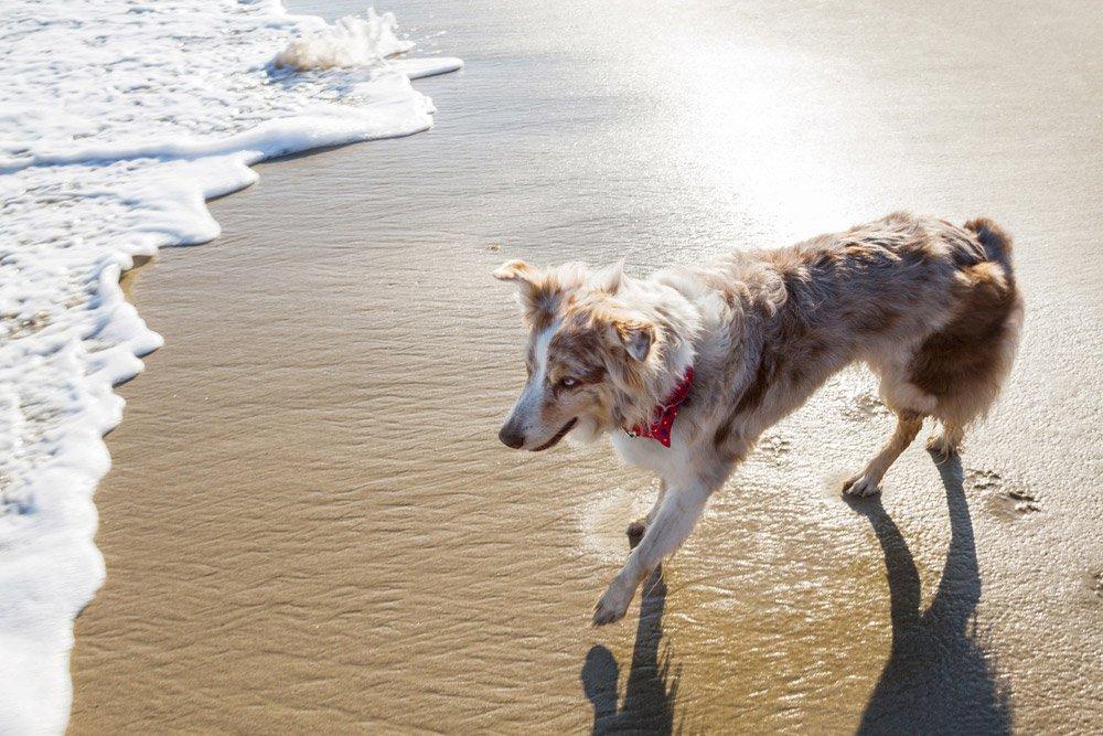 Australian Shepherd looking at the waves on the beach