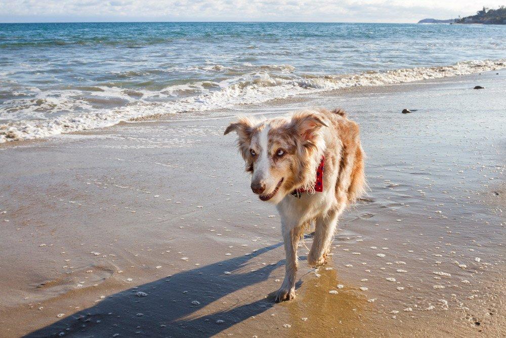 Iris walking along the ocean
