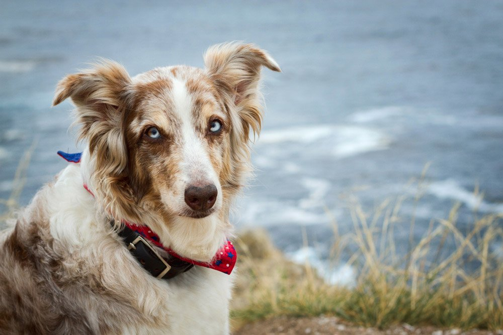 Australian Shepherd portrait