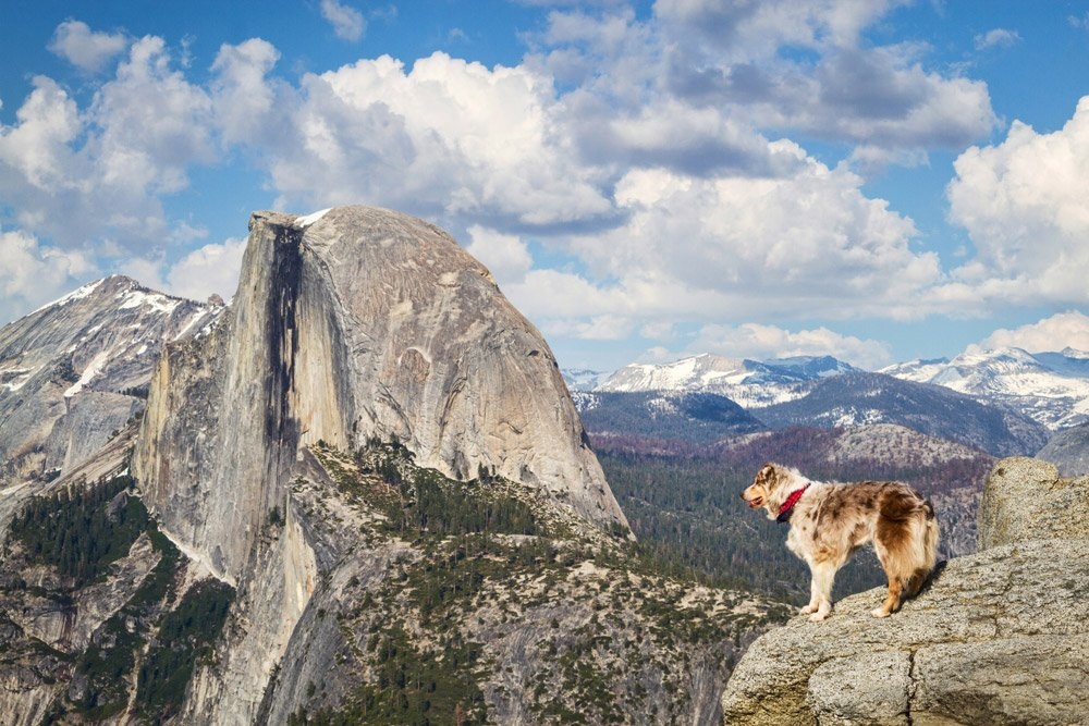 dog standing at overlook in Yosemite