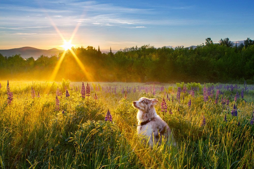 dog looking up at the sunrise over a field of lupines in Sugar Hill, NH
