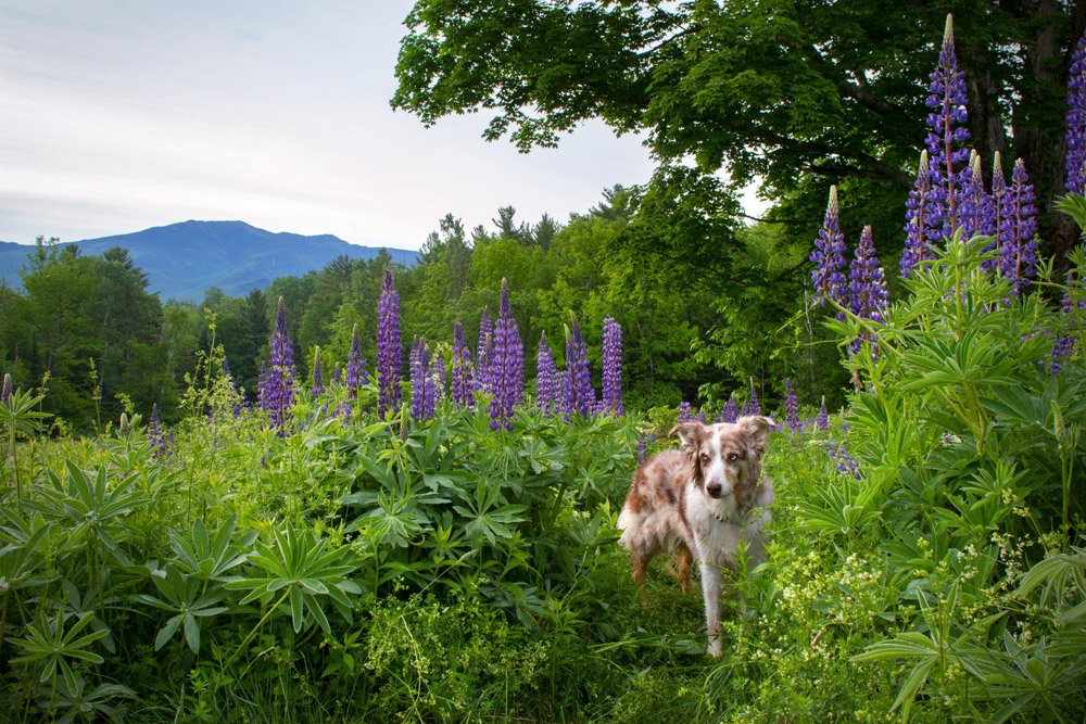 dog standing in a field of purple lupine flowers