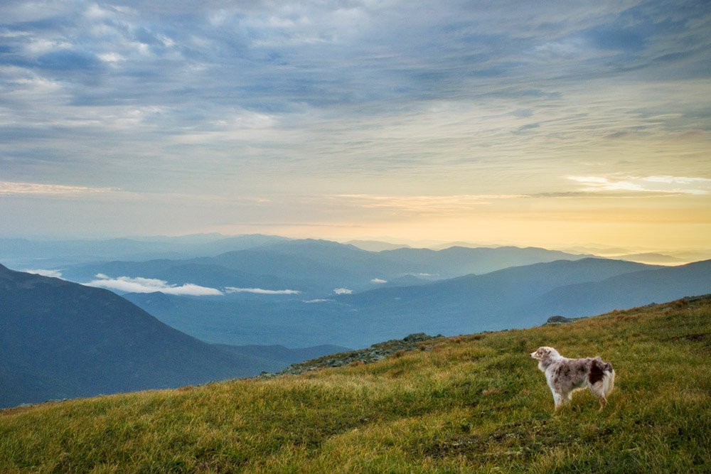 Australian Shepherd standing in a field overlooking the mountains in New Hampshire