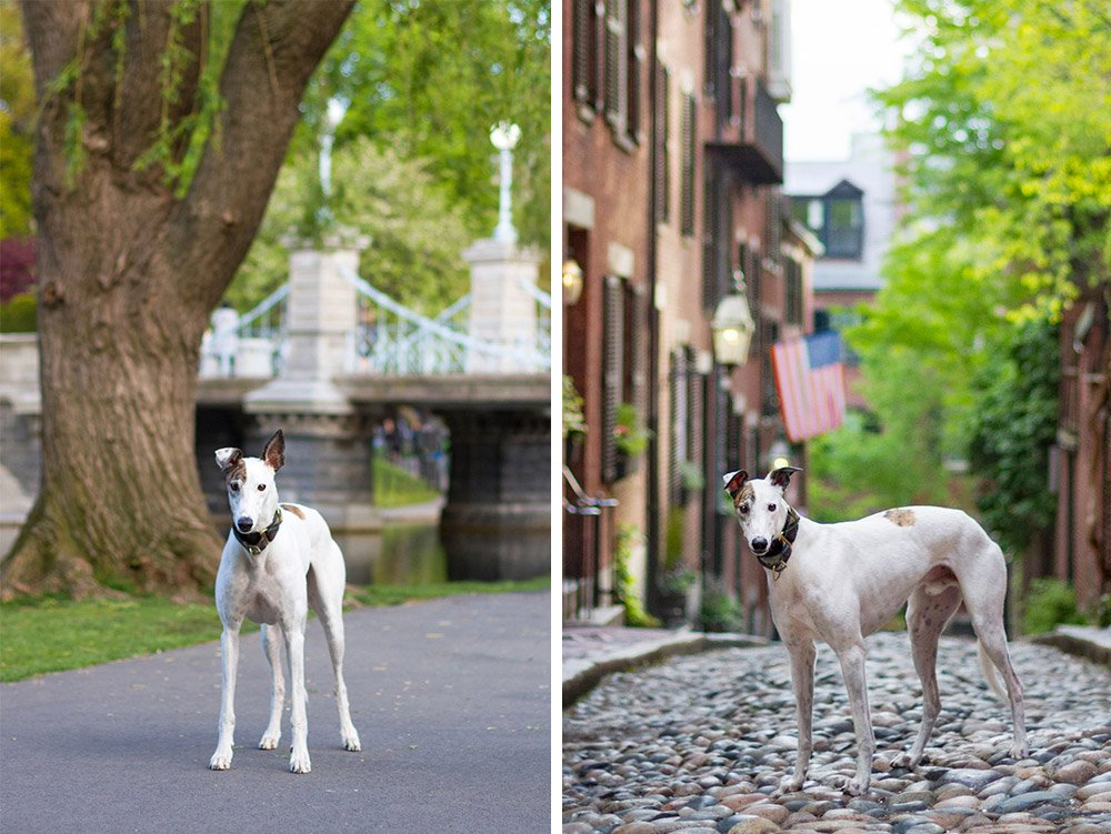 photos of greyhound standing on Acorn Street and in Boston Public Garden