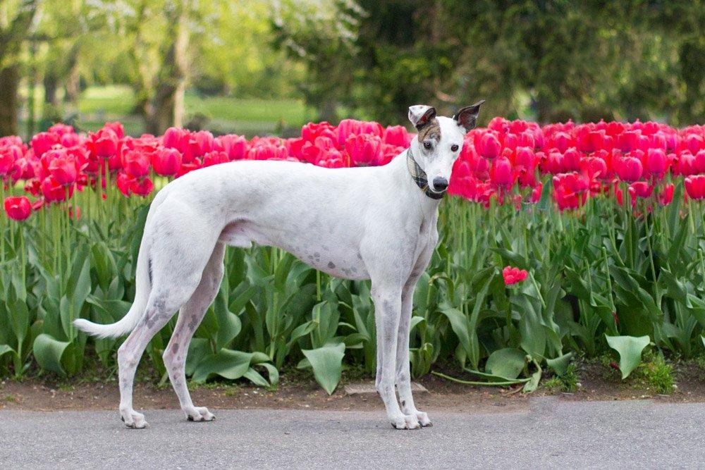greyhound standing near the tulips in Boston