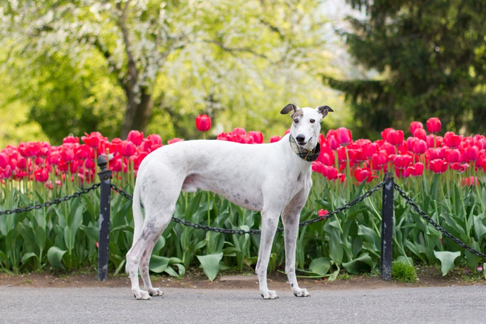 white dog standing in front of red tulips