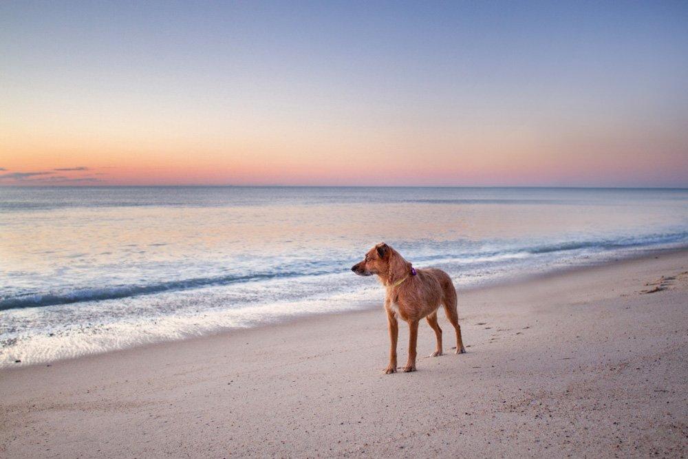 dog watching the sunrise on Cape Cod