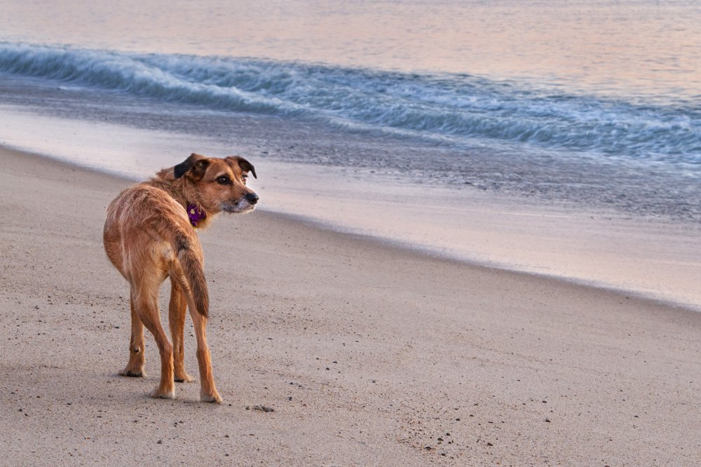 terrier dog looking out at the ocea