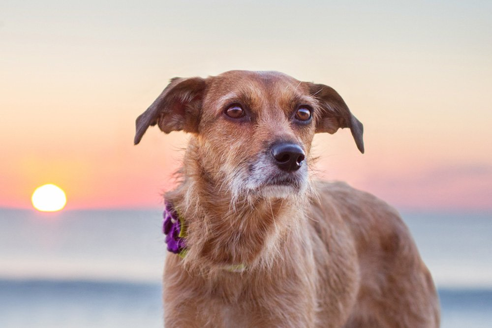 dog with sunrise behind her