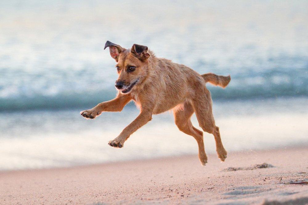 dog jumping in the air as she runs down the beach