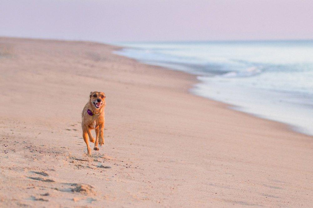 dog running on beach in Wellfleet, MA