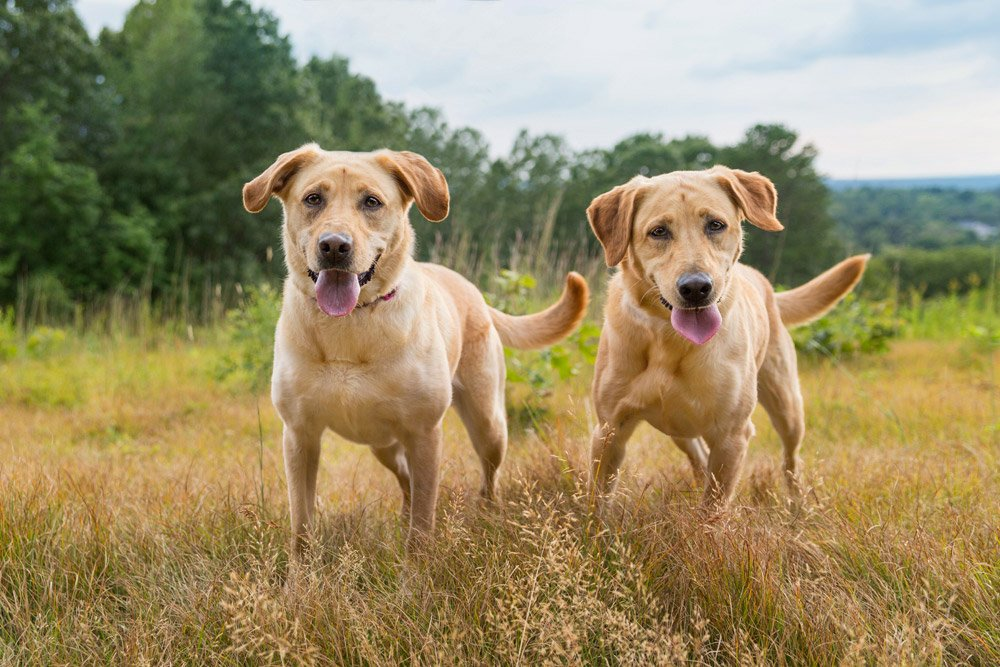 two yellow labs playing in a field