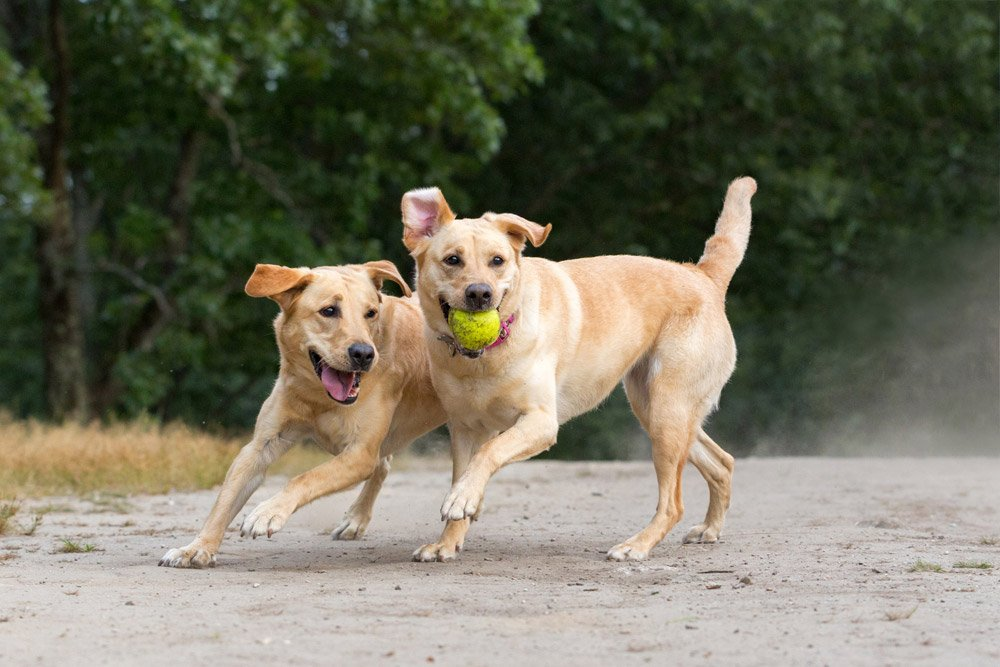 two Labrador retrievers chasing a ball