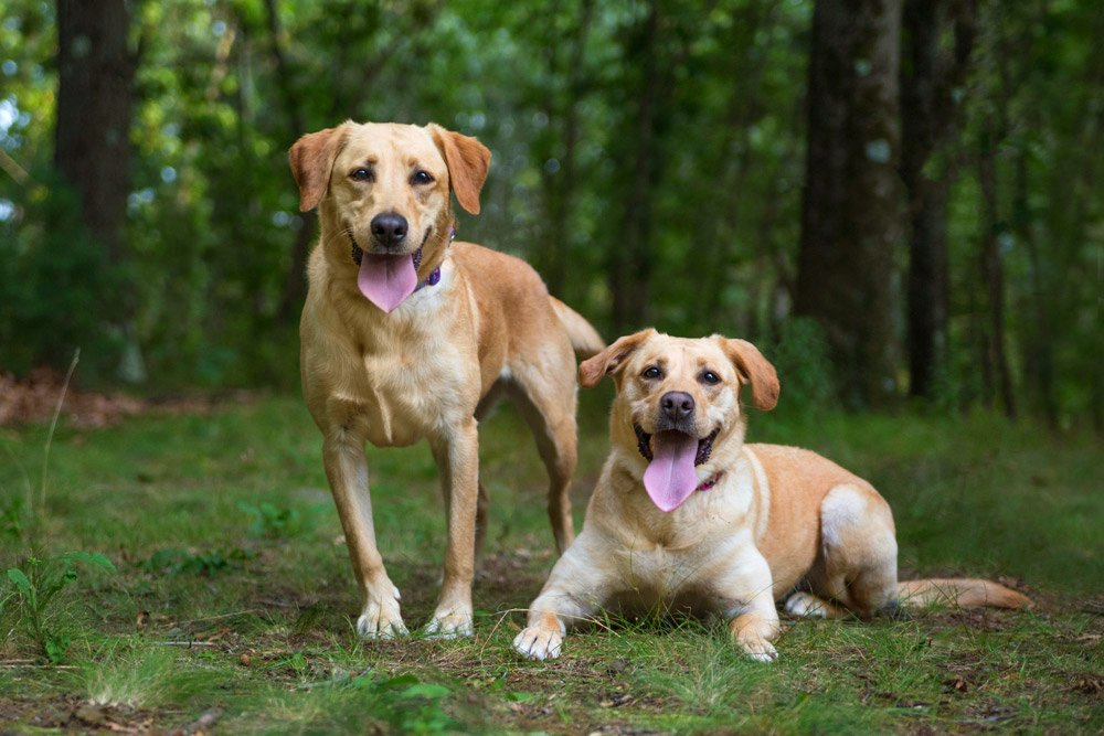 two yellow lab dogs in a green forest