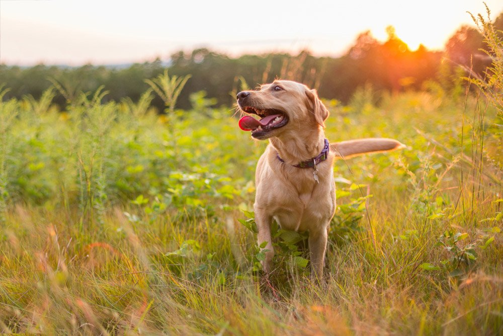 dog walking through a field at sunset