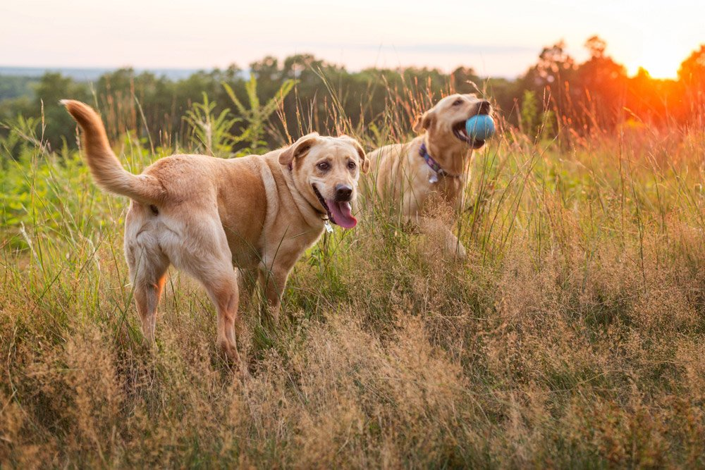 labrador retrievers playing with a ball in a field