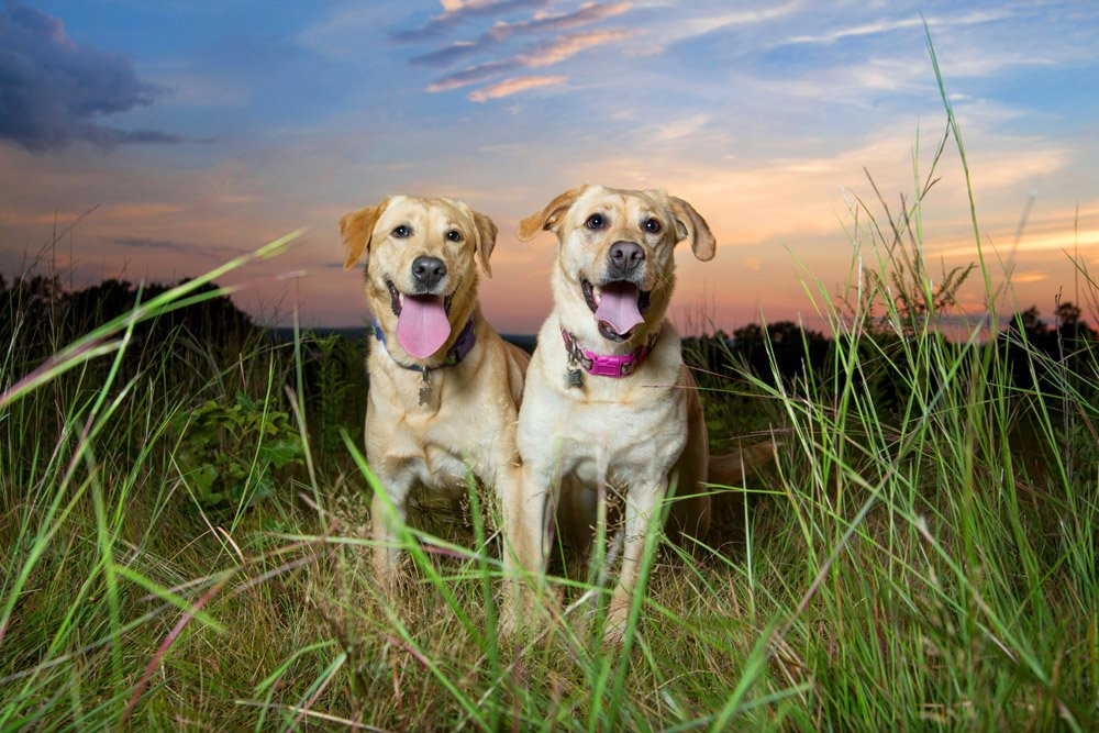 two dogs sitting in a field in front of a beautiful sunset