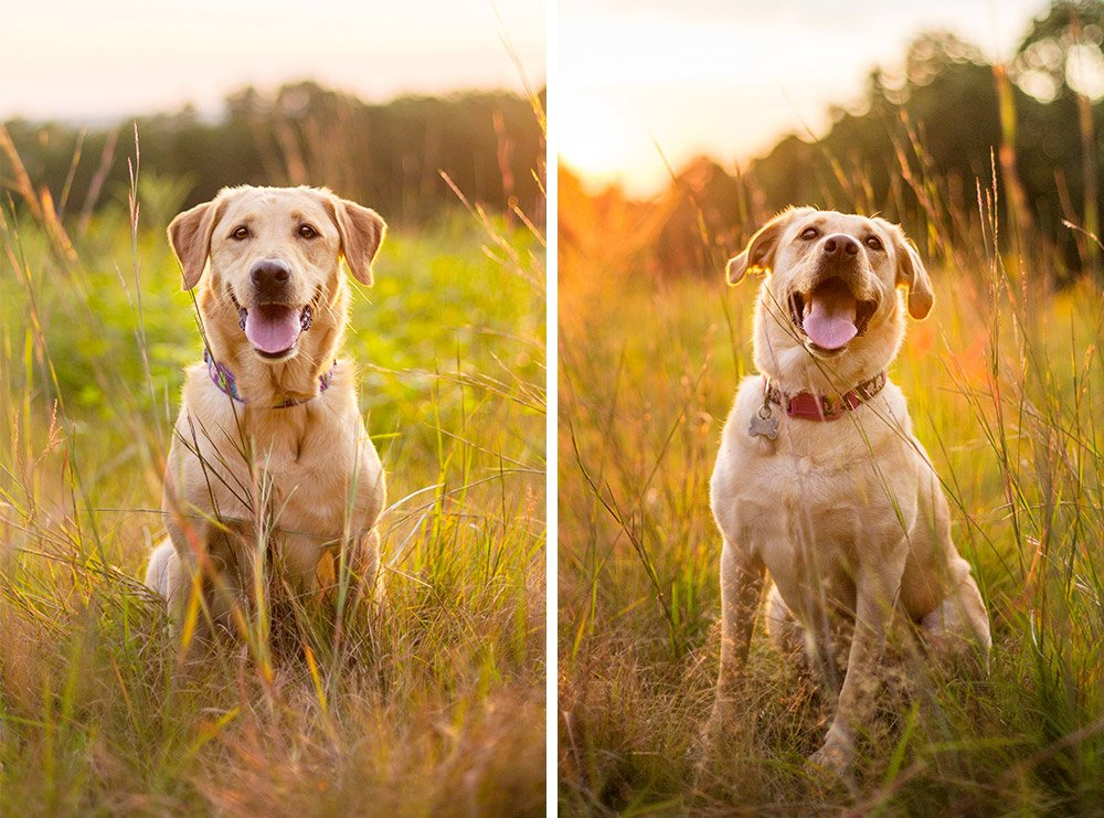 yellow Labrador Retrievers sitting in tall grass at sunset