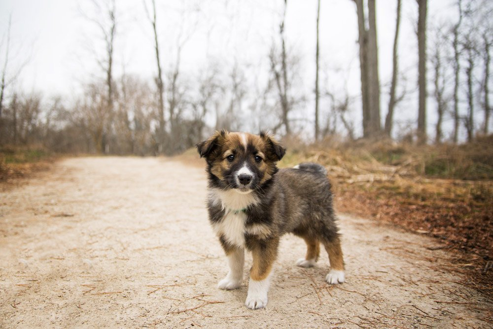 sable colored English Shepherd puppy standing in the woods