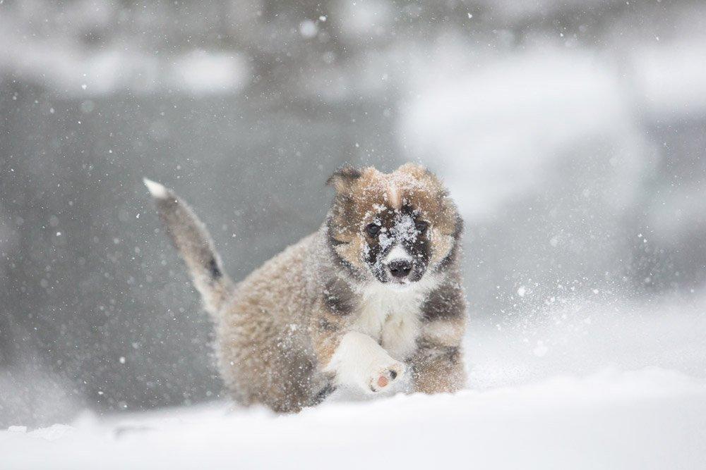 English Shepherd puppy exploring in the snow
