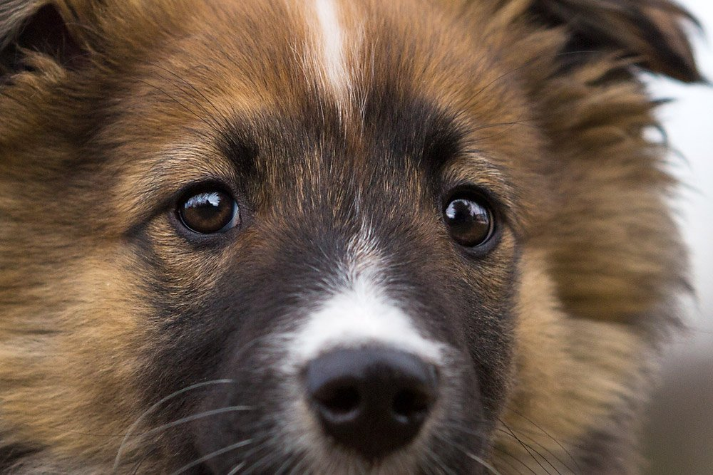 close up photo of English Shepherd puppy's eyes