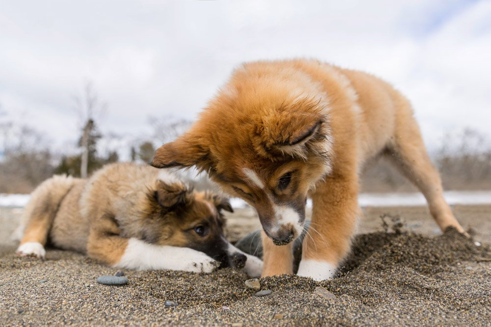 one puppy digging in the sand while another puppy watched