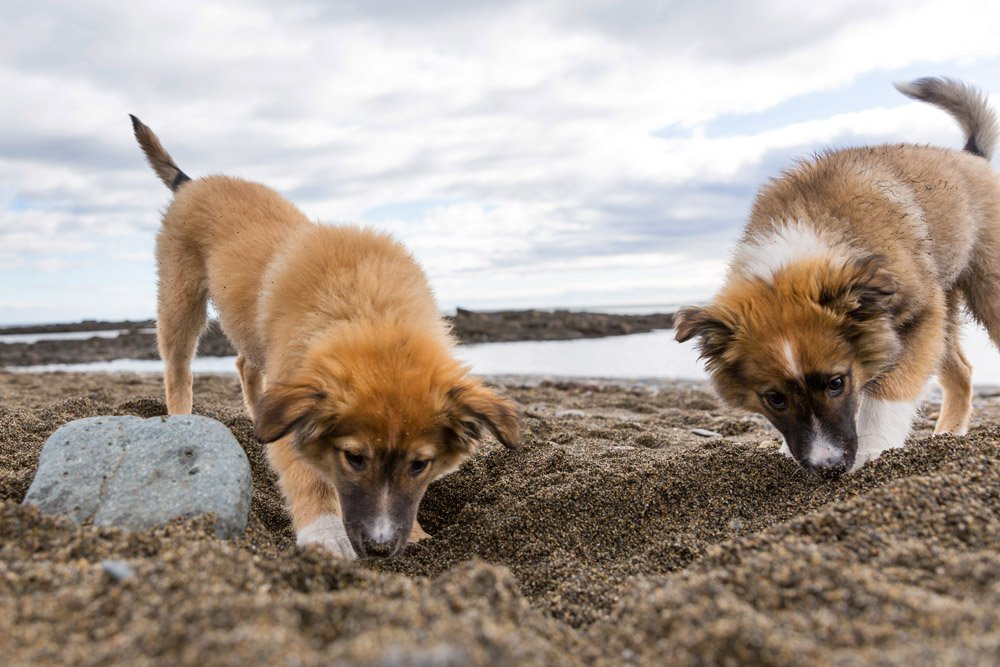 puppies sniffing in the sand