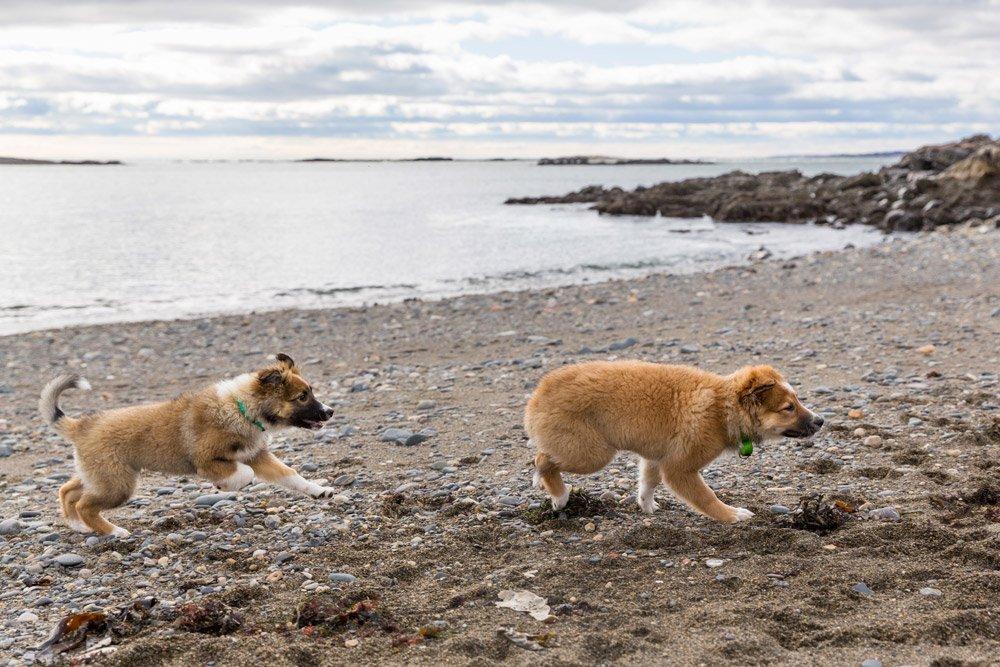 two English Shepherd puppies running on the beach