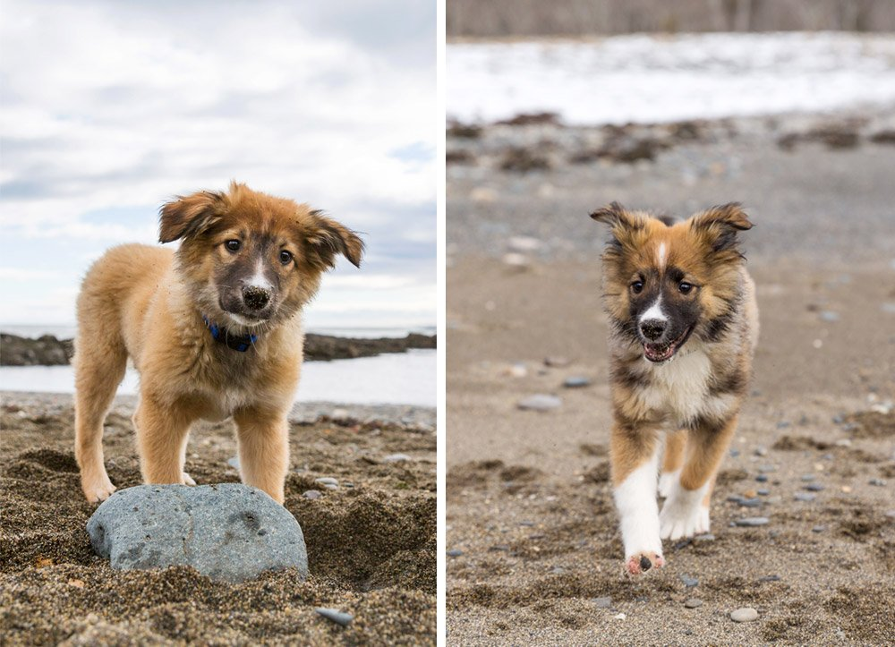 photos of Flint and his brother Wyatt, two English Shepherds