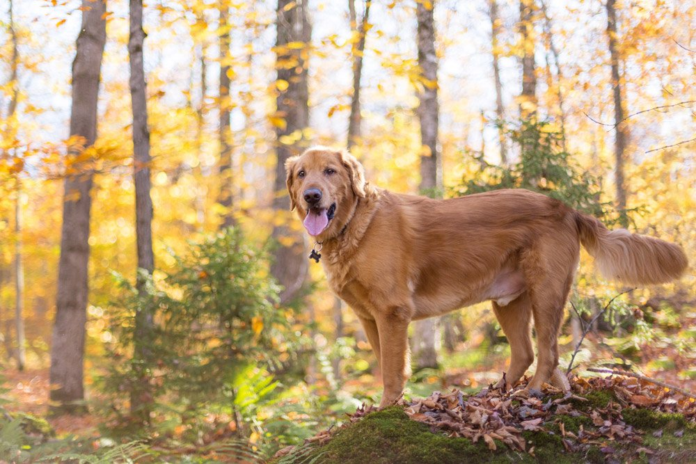 dog standing in front of trees with yellow fall leaves