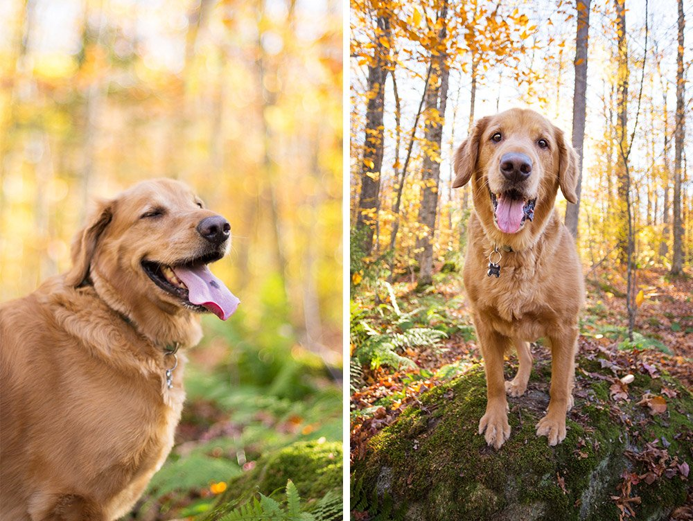 Sonny the golden retriever standing in a fall forest