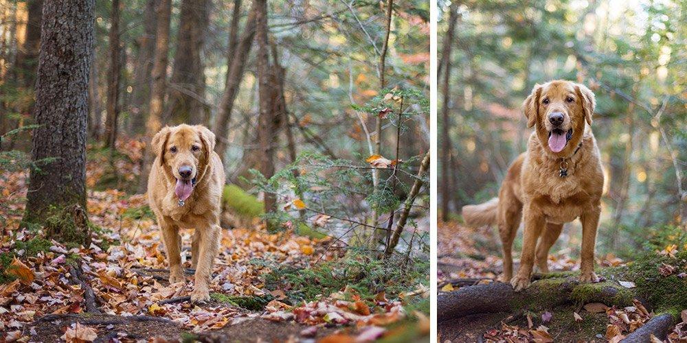 Golden Retriever walking in a pine forest