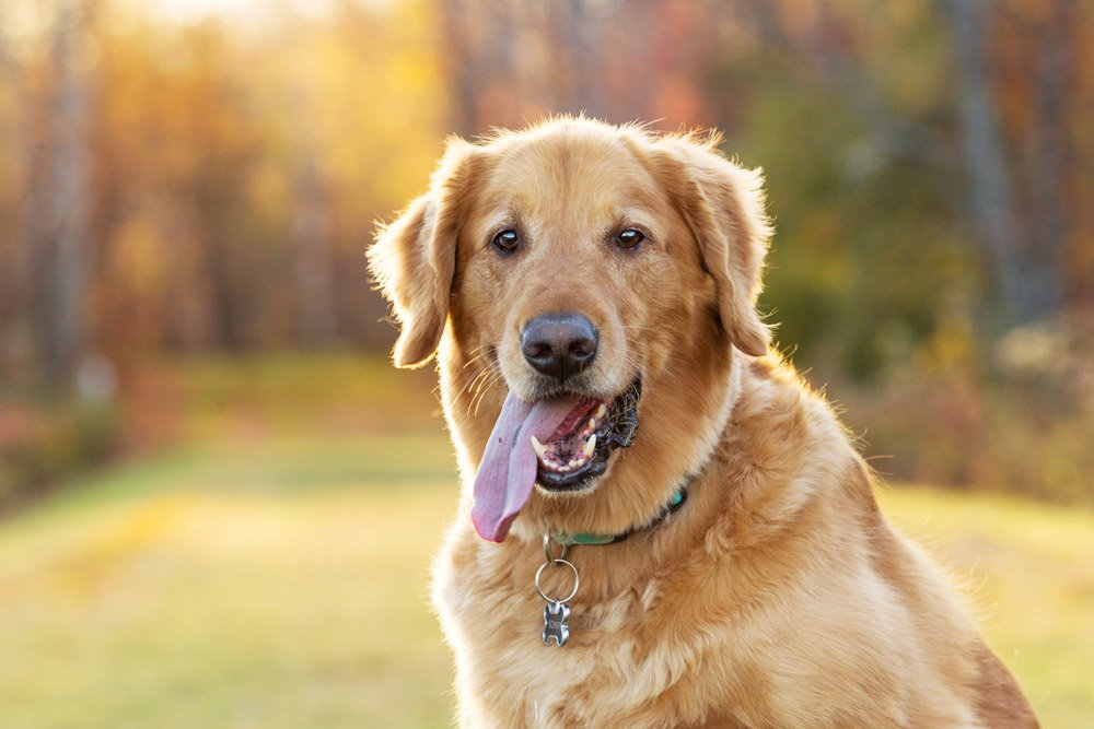 Golden Retriever with tongue hanging out