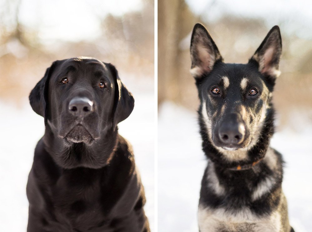 portraits of Zeus, a black lab, and Otus, a german shepherd
