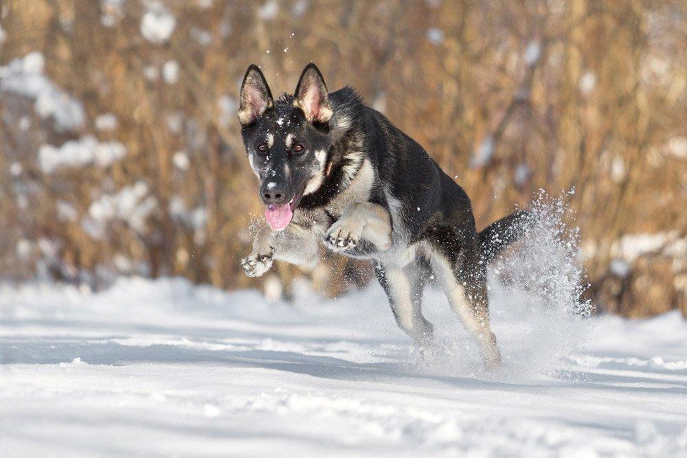 german shepherd running in the snow