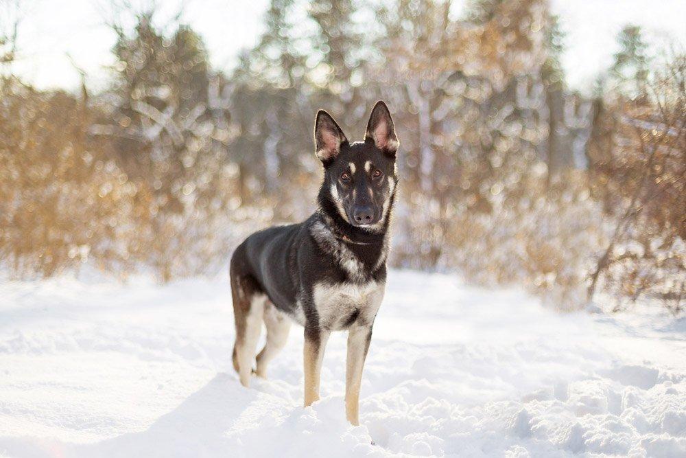 german shepherd standing in a snowy field